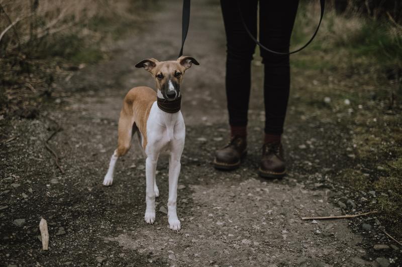 dog-on-leash-dog-walking